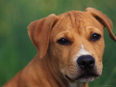 Pit Bull Terrier Puppy Portrait-Adriano Bacchella-Photographic Print