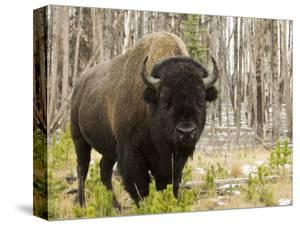 Bison, Yellowstone National Park, UNESCO World Heritage Site, Wyoming, USA by Pitamitz Sergio