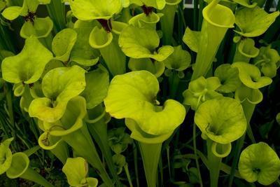 https://imgc.artprintimages.com/img/print/pitcher-plant-green-carnivorous_u-l-q1ar15i0.jpg?p=0