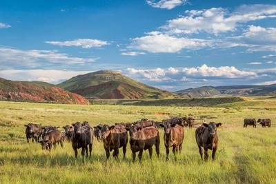 Open Range Cattle Grazing at Foothills of Rocky Mountains in Northern Colorado, Summer Scenery