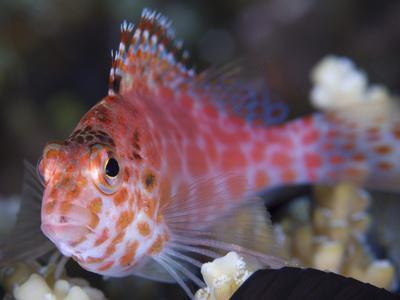 https://imgc.artprintimages.com/img/print/pixy-hawkfish-kimbe-bay-papua-new-guinea_u-l-pj0t8i0.jpg?p=0