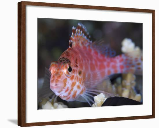 Pixy Hawkfish, Kimbe Bay, Papua New Guinea-Stocktrek Images-Framed Photographic Print