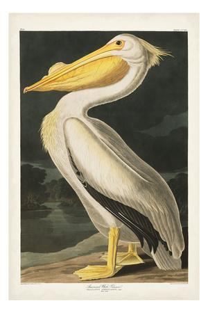 https://imgc.artprintimages.com/img/print/pl-311-american-white-pelican_u-l-q1gw2m50.jpg?p=0