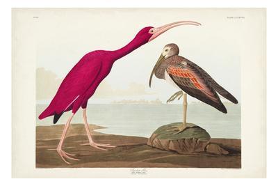 https://imgc.artprintimages.com/img/print/pl-397-scarlet-ibis_u-l-q1gwfth0.jpg?p=0