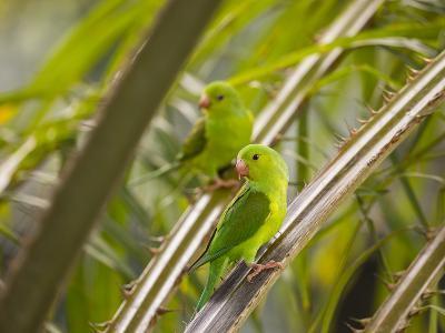 Plain Parakeets, Brotogeris Tirica, Sit on Branches in the Atlantic Rainforest, Ubatuba-Alex Saberi-Photographic Print