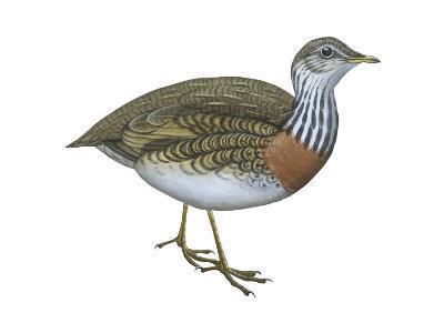 Plains Wanderer (Pedionomus Torquatus), Birds-Encyclopaedia Britannica-Art Print