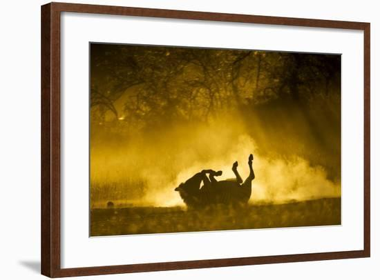 Plains Zebra at Sunset, Moremi Game Reserve, Botswana-Paul Souders-Framed Photographic Print