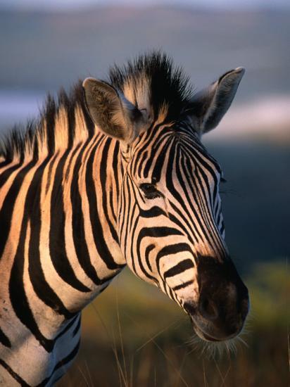 Plains Zebra, Burchell's Zebra, Hluhluwe-Umfolozi Park, Kwazulu-Natal, South Africa-Ariadne Van Zandbergen-Photographic Print