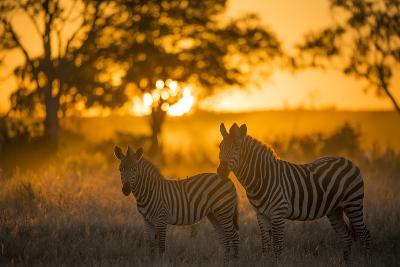 Plains Zebra (Equus Quagga) at Sunset, Savuti Marsh, Botswana-Wim van den Heever-Photographic Print