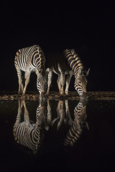 Plains zebra (Equus quagga) drinking at night, Zimanga private game reserve, KwaZulu-Natal, South A-Ann and Steve Toon-Photographic Print