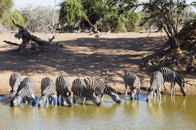 https://imgc.artprintimages.com/img/print/plains-zebra-equus-quagga-mkhuze-game-reserve-kwazulu-natal-south-africa-africa_u-l-q1boess0.jpg?p=0