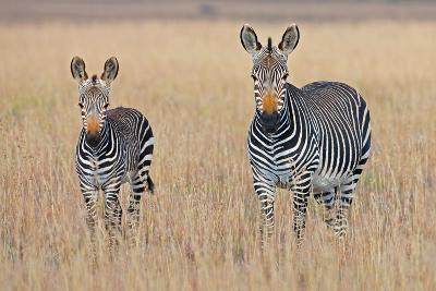Plains Zebra (Equus Quagga) with Foal in Grasslands, Mountain Zebra National Park, Eastern Cape Pro-George Brits-Photographic Print