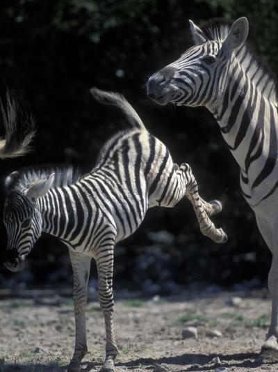 Plains Zebra Kicks, Etosha National Park, Namibia-Paul Souders-Photographic Print