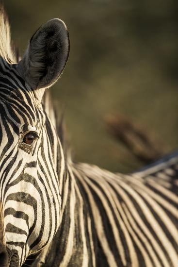 Plains Zebra, Moremi Game Reserve, Botswana-Paul Souders-Photographic Print