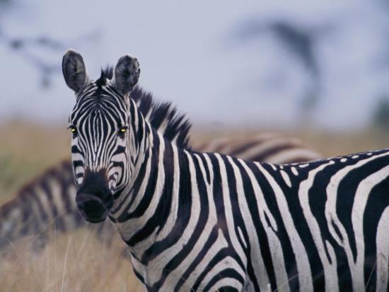 Plains Zebra-Michael Nichols-Photographic Print
