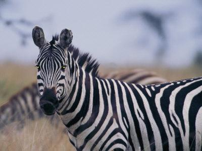 https://imgc.artprintimages.com/img/print/plains-zebra_u-l-p4ekzk0.jpg?p=0