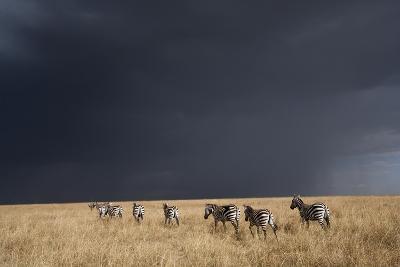 Plains Zebra--Photographic Print