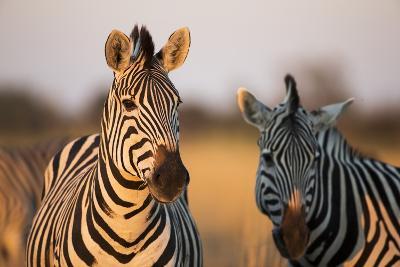Plains Zebras at Sunset, Moremi Game Reserve, Botswana-Paul Souders-Photographic Print