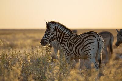 Plains Zebras, Equus Quagga, Stand in Tall Grassland at Sunset-Alex Saberi-Photographic Print