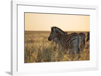 Plains Zebras, Equus Quagga, Stand in Tall Grassland at Sunset-Alex Saberi-Framed Photographic Print