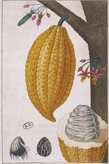 Plant and Fruit of Cacao Tree Theobroma Cacao, Colour Print--Giclee Print