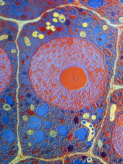 Plant Cell-Dr. Jeremy Burgess-Photographic Print