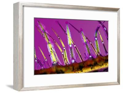 Plant Stem Trichomes, Light Micrograph-Dr. Keith Wheeler-Framed Photographic Print