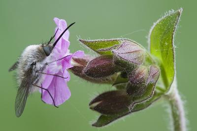 Plant, True Comfrey, Symphytum Officinale, Insect-Rainer Mirau-Photographic Print