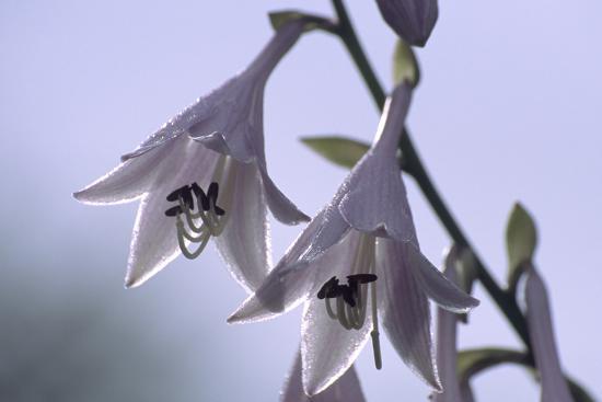 Plantain Lily Flowers (Hosta Sp.)-Dr. Nick Kurzenko-Photographic Print