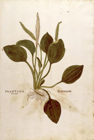 Plantain (Plantago Major) by Leonhart Fuchs from De Historia Stirpium Commentarii Insignes (Notable--Giclee Print