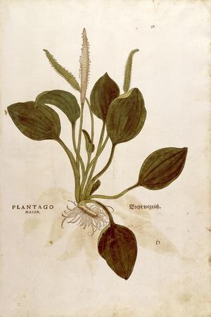 https://imgc.artprintimages.com/img/print/plantain-plantago-major-by-leonhart-fuchs-from-de-historia-stirpium-commentarii-insignes-notable_u-l-puz10d0.jpg?p=0