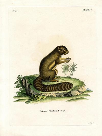 Plantain Squirrel--Giclee Print
