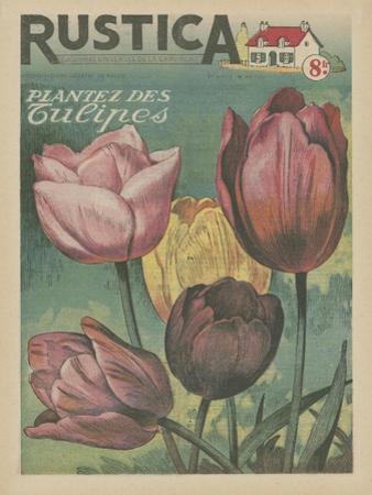 Plantez des Tulips