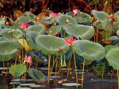 Plants and Flowers along Yellow River, Kakadu National Park, Australia-John Banagan-Photographic Print