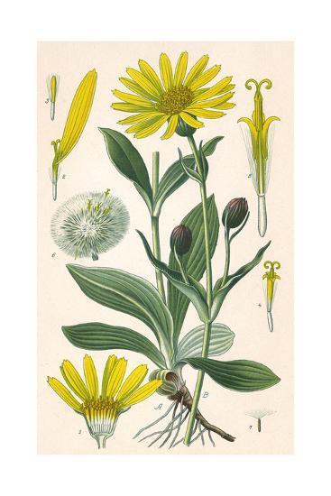 Plants, Arnica Montana--Giclee Print