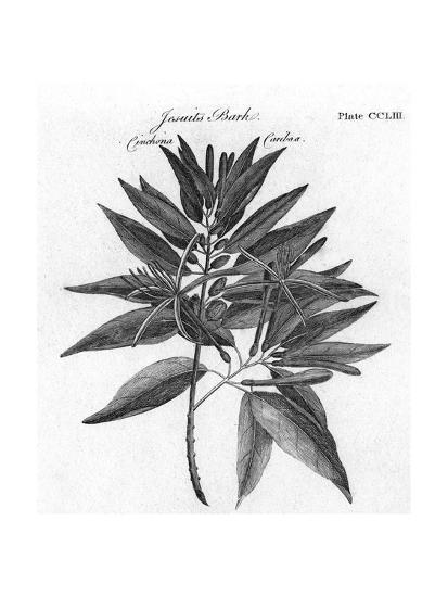 Plants, Cinchona--Giclee Print