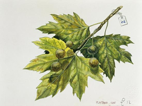 Platanaceae, Leaves and Fruits of Planes Platanus--Giclee Print