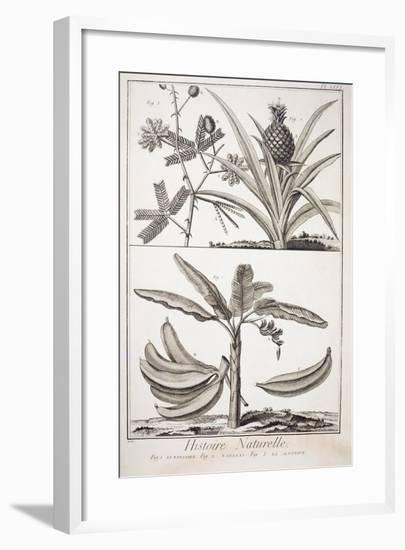 Plate Showing Banana Tree--Framed Giclee Print