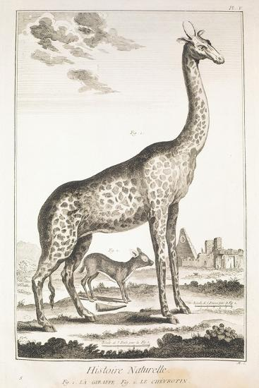 Plate Showing Giraffe and Musk Deer--Giclee Print