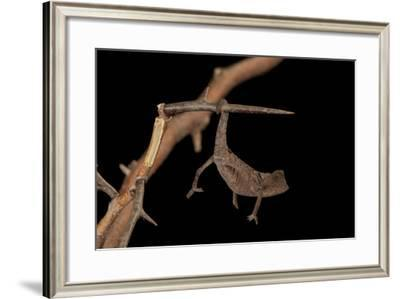 Plated Leaf Pygmy Chameleon, Brookesia Minima, at the Omaha Zoo-Joel Sartore-Framed Photographic Print