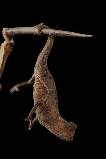 Plated Leaf Pygmy Chameleon, Brookesia Minima, at the Omaha Zoo-Joel Sartore-Photographic Print