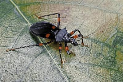 Platymeris Rhadamanthus (Red Spot Assassin Bug)-Paul Starosta-Photographic Print