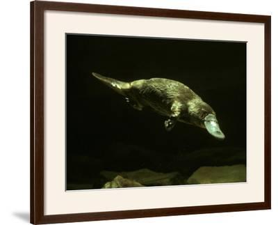 Platypus Underwater--Framed Photographic Print