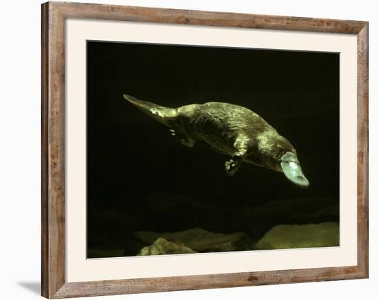 Platypus Underwater--Framed Photographic Print