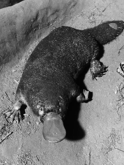 Platypus--Photographic Print