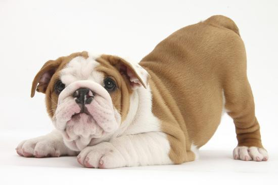 Playful Bulldog Puppy, 8 Weeks, in Play-Bow-Mark Taylor-Photographic Print