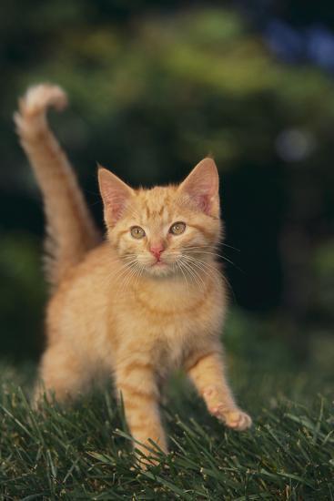 Playful Kitten-DLILLC-Photographic Print