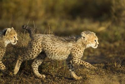 Playing Cheetah Cubs-Paul Souders-Photographic Print