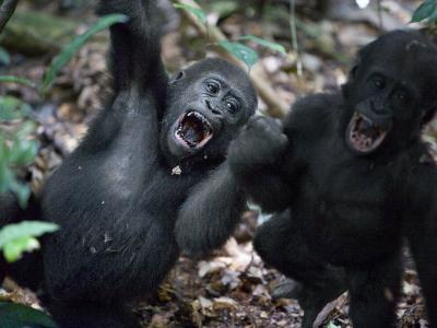 Playtime for a pair of juvenile western lowland gorillas-Ian Nichols-Photographic Print