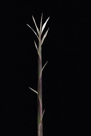 https://imgc.artprintimages.com/img/print/pleioblastus-chino-f-legantissimus-bamboo-shoot_u-l-pzqohr0.jpg?p=0